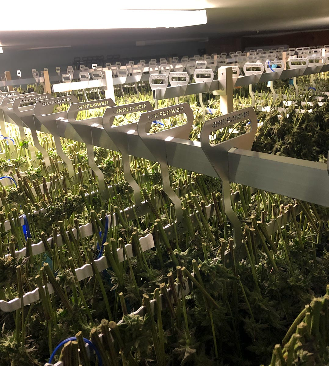 Large harvest drying on DriFlower racks stacked to the ceiling